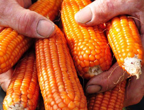 La polenta di mais ottofile rosso